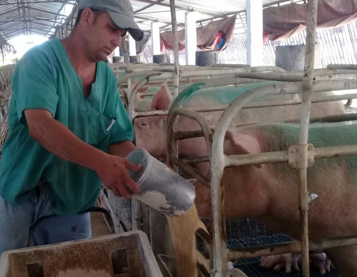 cabaiguan, porcino, genetica porcina, economia