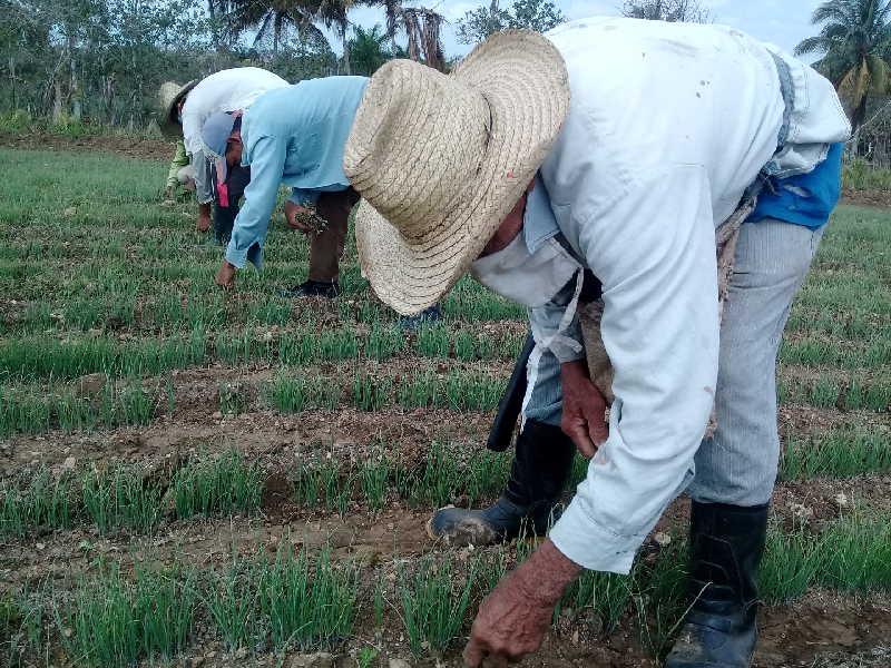 Los campesinos espirituanos se encuentran entre los beneficiarios de las nuevas opciones bancarias. (Foto: José Luis Camellón / Escambray)