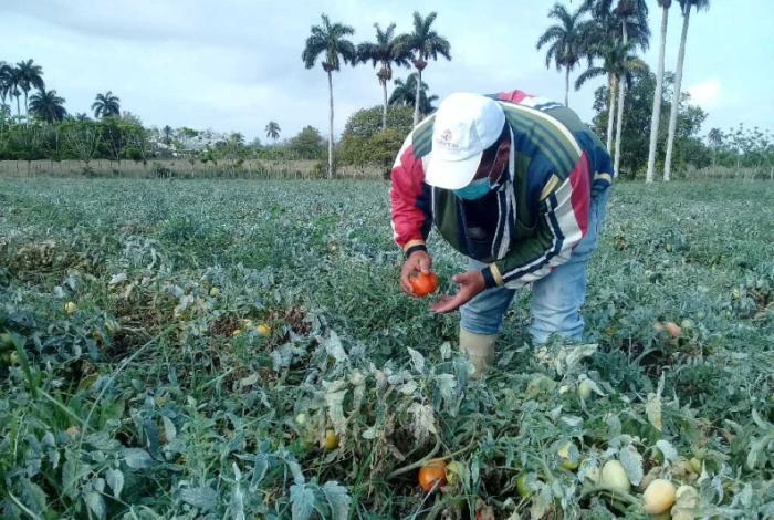 sancti spiritus, agricultura, semillas, agricultura sancti spiritus, produccion de alimentos