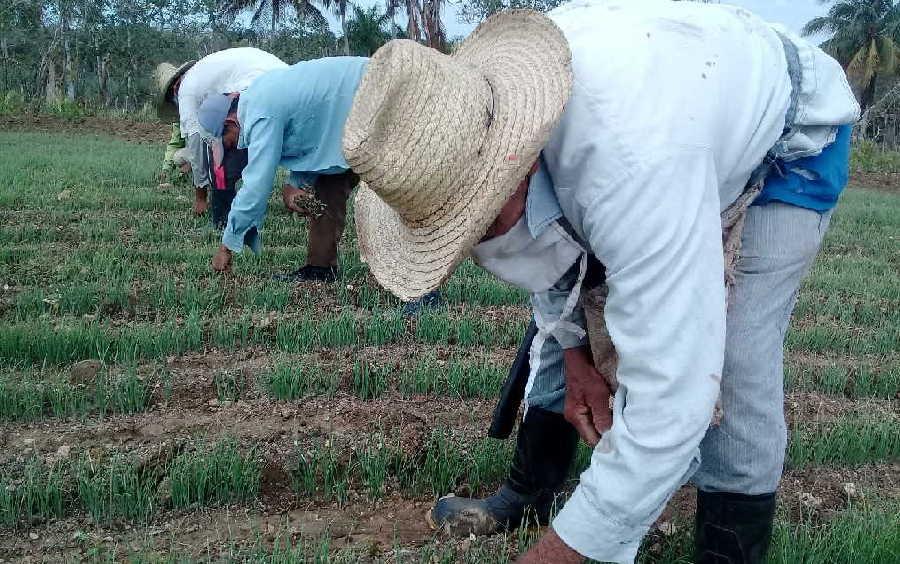 Las cuentas de donación se abrieron con el objetivo de contribuir a la producción de alimentos.  (Foto: José L. Camellón / Escambray)