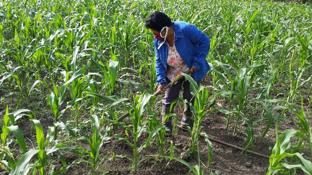 Ana Delia todos los días repasa las plantaciones de maíz.
