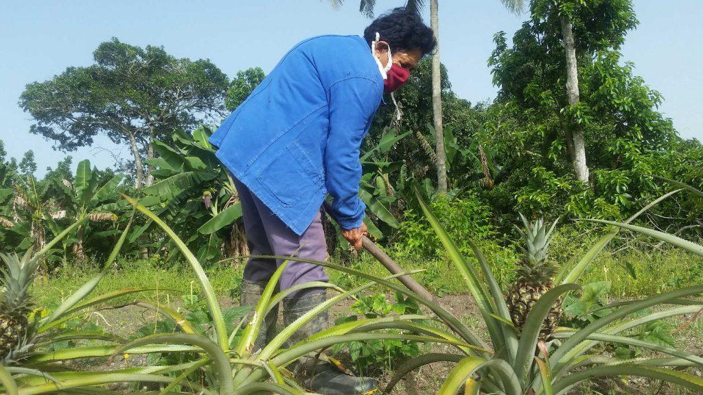 En la parcela de tierra se fomenta el cultivo de la piña.