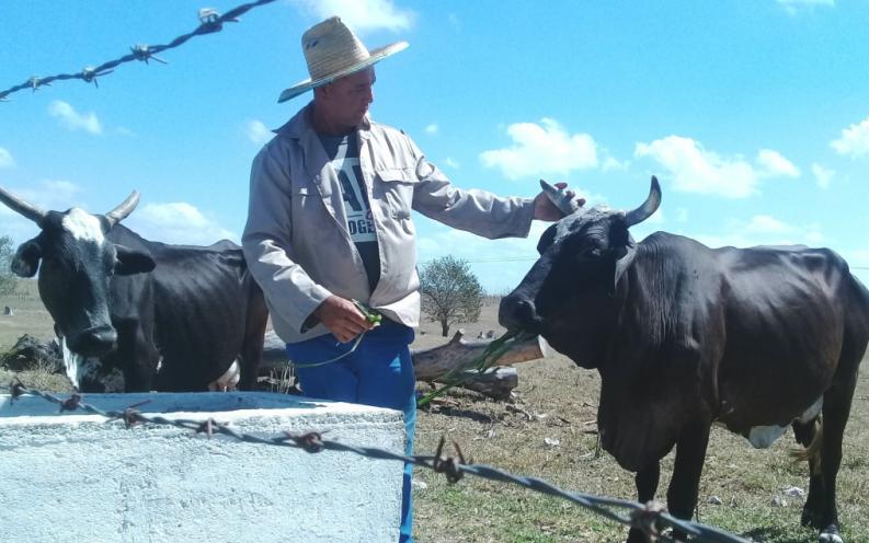 sancti spiritus, agricultura, economia, ganaderia, ganado, cultivos varios