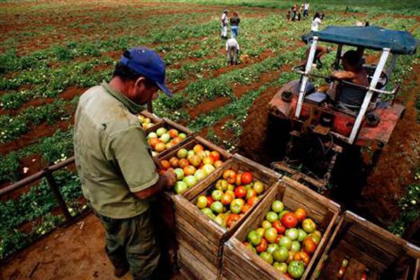 La nueva normativa fija las condiciones de trabajo mínimas que debe garantizar el productor agropecuario. (Foto: Cubahora)