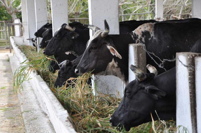 Entre las prioridades se labora para solucionar el déficit de alimentos en el periodo seco. (Foto: Vicente Brito / Escambray)