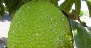 cabaiguan, plantas medicinales, medicina natural y tradicional, frutas