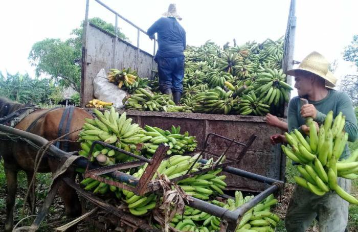 La producción y comercialización de alimentos estuvo en la mirada del Plano anapìsta. (Foto: José Luis Camellón / Escambray)