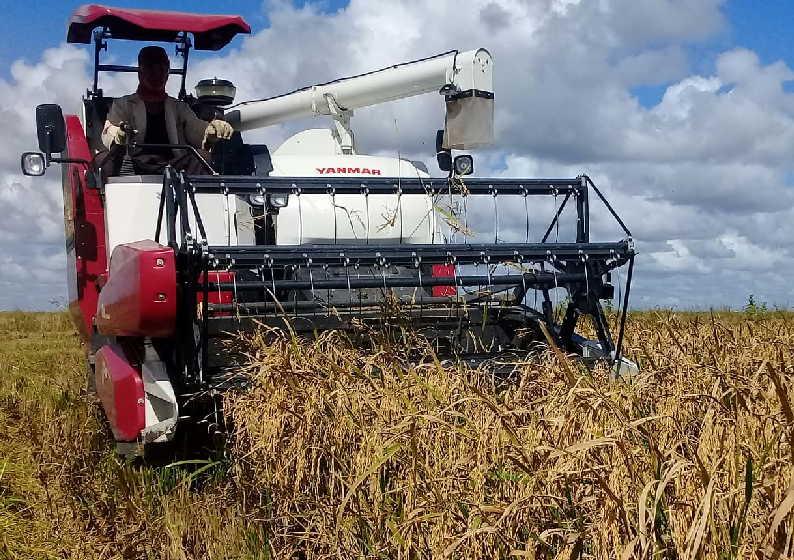 Si en Las Nuevas avanza el corte de arroz, se debe también a la eficacia de las máquinas donadas por Japón a Cuba. (Fotos: José Luis Camellón)