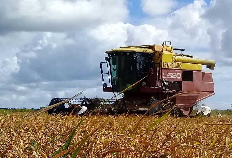 En los arrozales de La Sierpe se trabaja para subir el ritmo de corte en la medida que el terreno lo permita.
