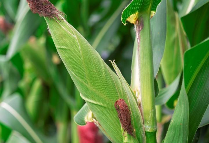 Sancti spiritus, cigb, centro de ingenieria genetica y biotecnologia, maiz, maiz transgenico, sanidad vegetal