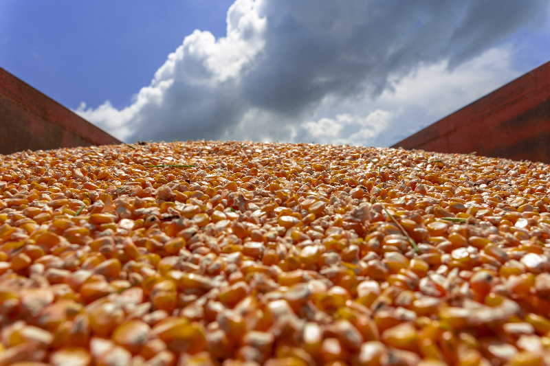 sancti spiritus, maiz hibrido, cigb, centro de ingenieria genetica, cultivos transgenicos, sanidad vegetal