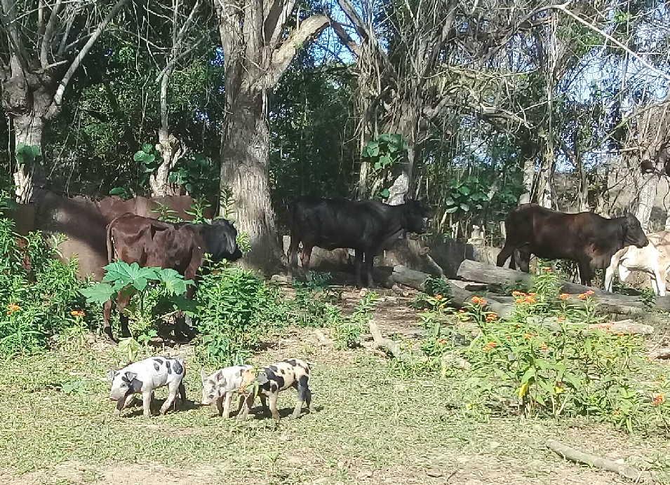 sancti spiritus, ganaderia, crianza de cerdos
