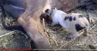 sancti spiritus, cerdos, ganaderia, crianza de cerdos, vacas