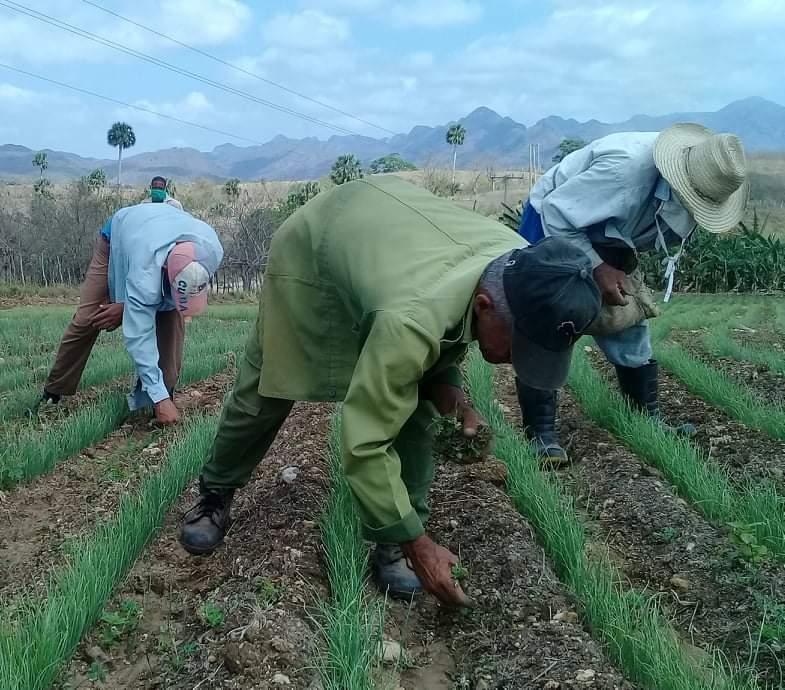 Para lograr la solvencia económica de las cooperativas es necesario incrementar la producción. (Foto: José Luis Camellón / Escambray)