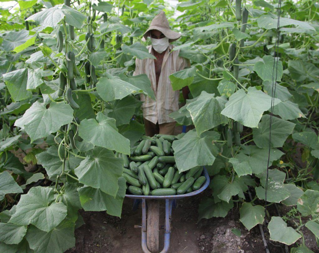 Estimular la producción agropecuaria resulta el propósito fundamental de las medidas aplicadas. (Foto: Oscar Alfonso)