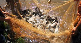 sancti spiritus, presa zaza, alevines, pesca, acuicultura