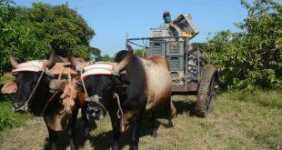 sancti spiritus, campesinos, produccion de alimentos, agricultura