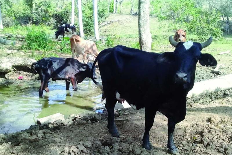 sancti spiritus, ganaderia, agricultura, carne bovina, economia cubana