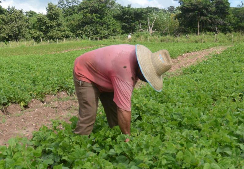 cuba, agricultura, ganaderia, produccion de alimentos, economia cubana