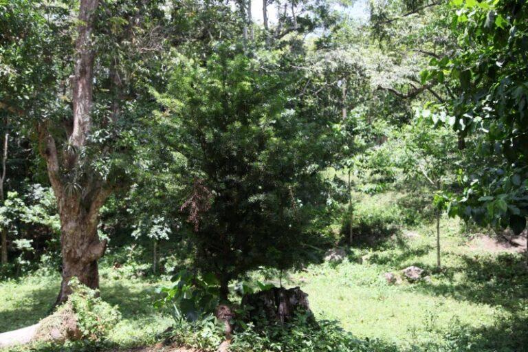 La Sabina (Podocarpus angustifolius) multiplica su presencia en el área. (Foto: Oscar Alfonso Sosa)