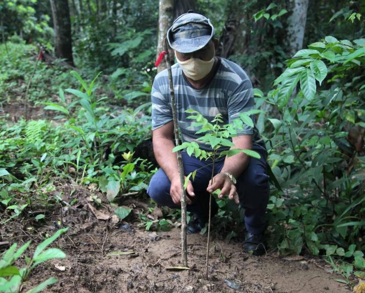 Ejemplares jóvenes del Nogal del País (Junglan insularis) comienzan a verse en escenarios cercanos a ríos y arroyuelos. (Foto: Oscar Alfonso Sosa)