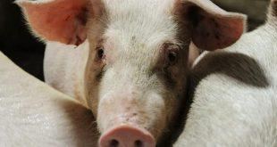 cuba, ministerio de la agricultura, peste porcina, republica dominicana, cerdos, carne de puerco