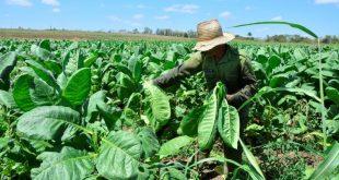 sancti spiritus, tabaco, acopio y beneficio del tabaco, cosecha tabacaleta