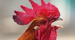 brasil, policia, medio ambiente, ruidos, gallo, animales