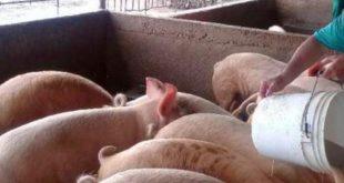 sancti spiritus, peste porcina, animales, ministerio de salud publica